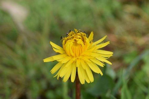 flower dandelion flower  flower yellow petals  plants