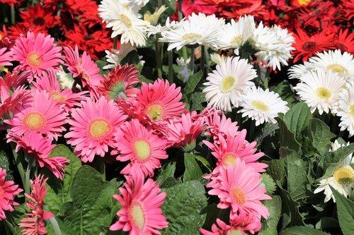 flower exhibition  gerber daisy  pink