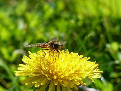 flower fly hoverfly syrphid fly