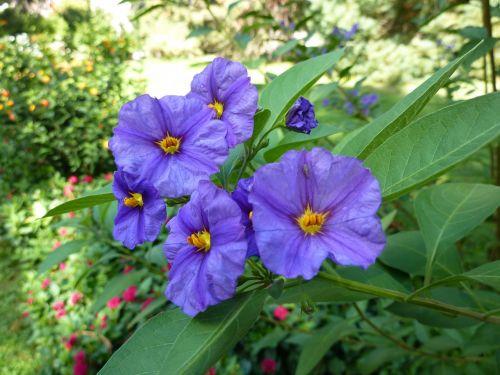 container plant gentian shrub solanum