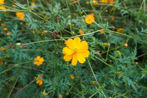 cosmos flower garden yellow