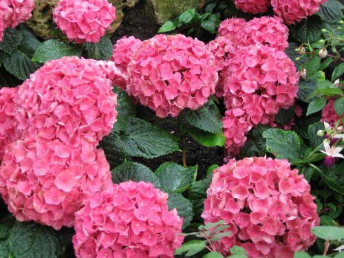 Flower Hortensia Pink