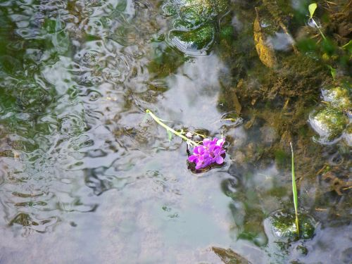 Flower In Country Stream