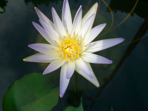 flower lily water water lily blossom