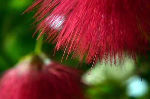 gėlė, raudona, stilius, dulkės, makro, gamta, gėlių makro 14