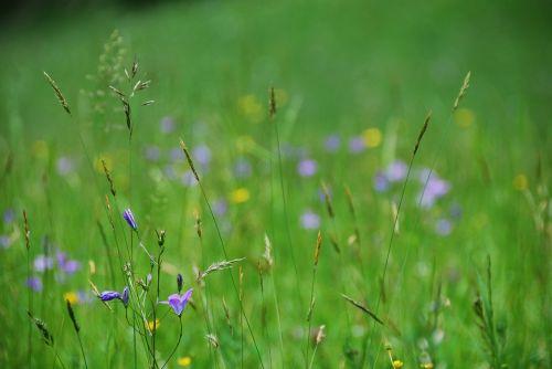 flower meadow bluebells bloom
