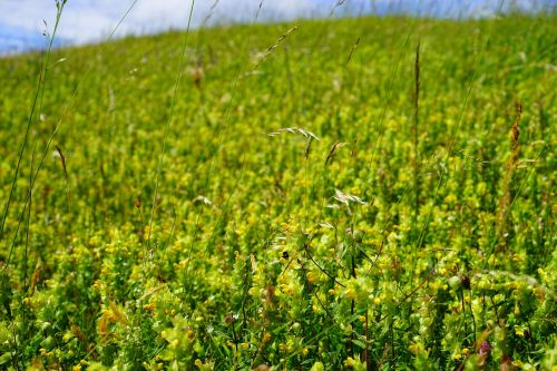 flower meadow flowers yellow
