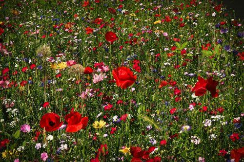 flower meadow wild flowers flowers