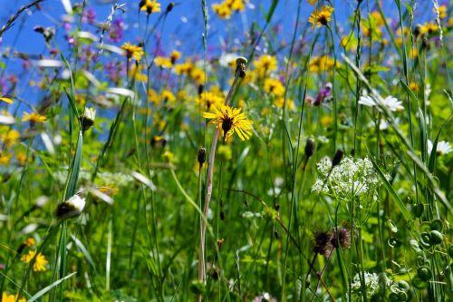 flower meadow flowers spring