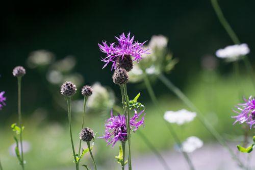 flower meadow natural lawn summer meadow