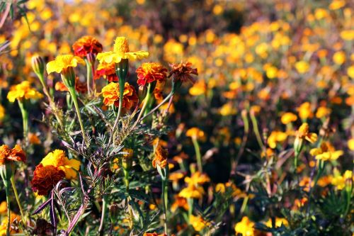 flower meadow marigold colorful