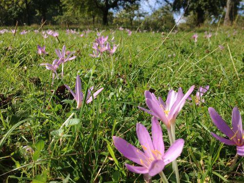 flower meadow autumn herbstzeitlose