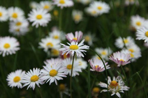 flower meadow meadow flowers