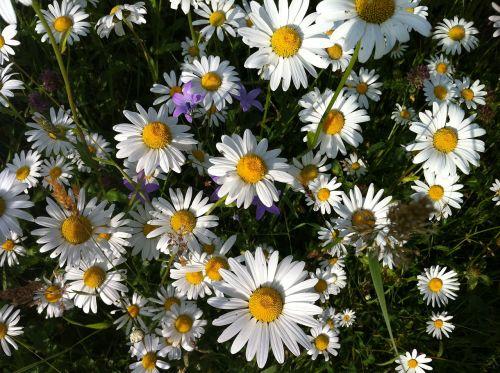flower meadow summer meadow margerite