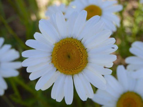 flower meadow magerite summer