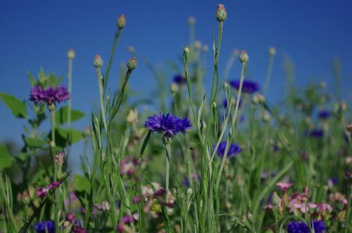flower meadow cornflower flower