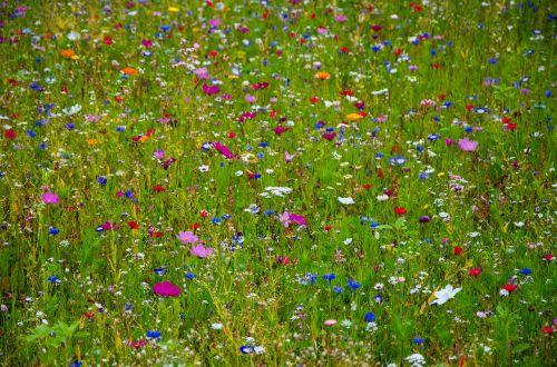 flower meadow colorful cornflowers