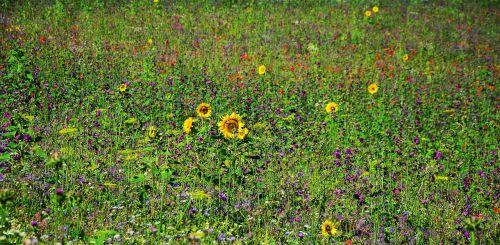 flower meadow wildflowers field