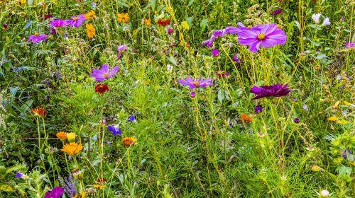 flower meadow colorful flowers