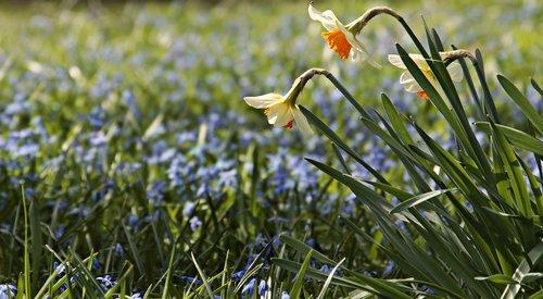 flower meadow  daffodils  osterglocken