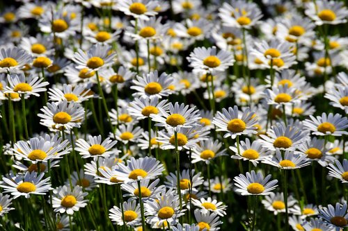 flower meadow  daisies  nature
