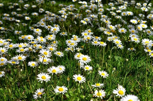 flower meadow  daisy  nature