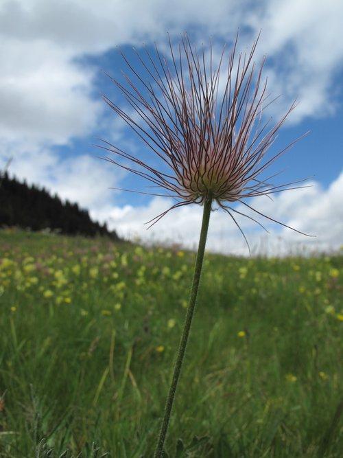 flower meadow  alm  switzerland