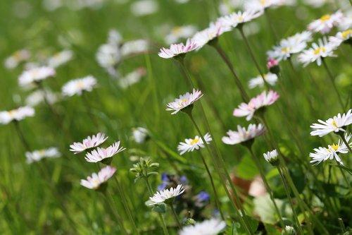 flower meadow  daisies  daisy