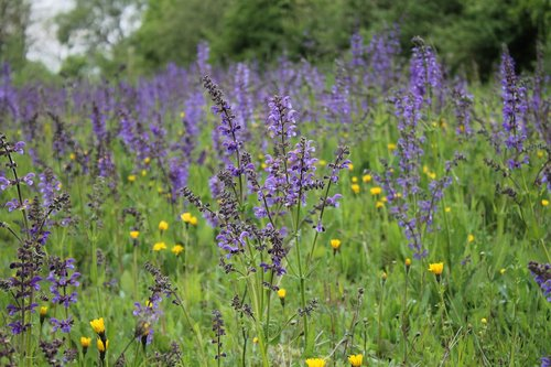 flower meadow  wild sage  wildflowers