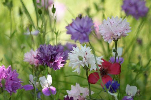 flower meadow summer flowers flowers