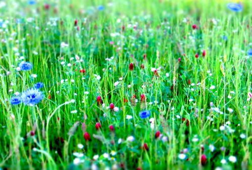 flower meadow flowers meadow