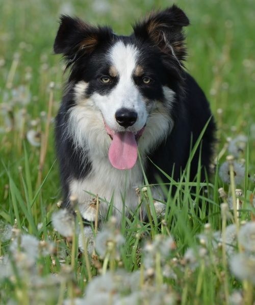 flower meadow border collie british sheepdog