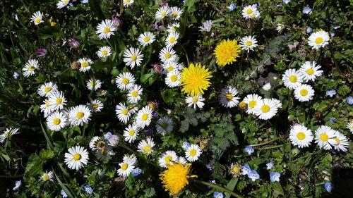 flower meadow daisy meadow