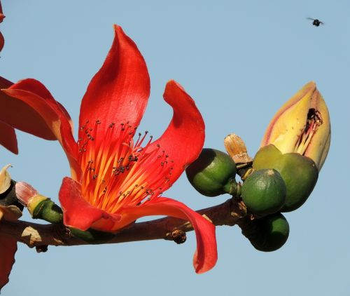 flower of ceiba speciosa flower tree