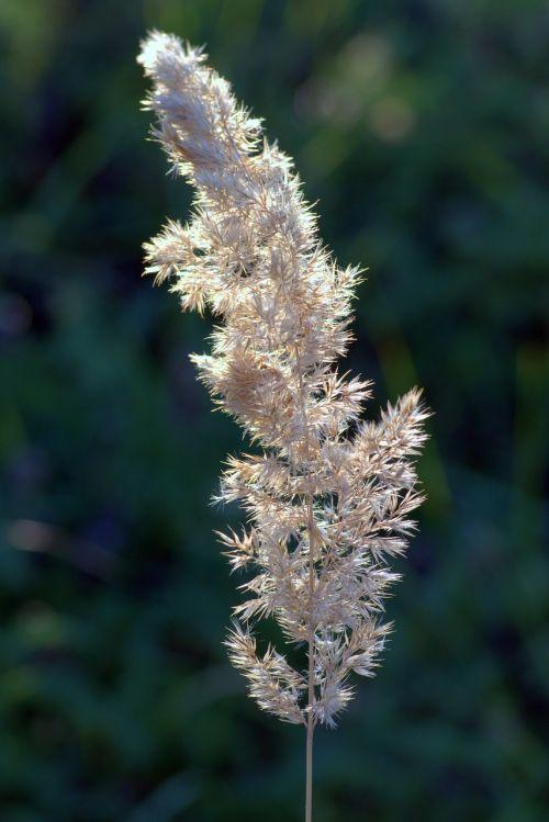 flower of grass dry grass end of the summer