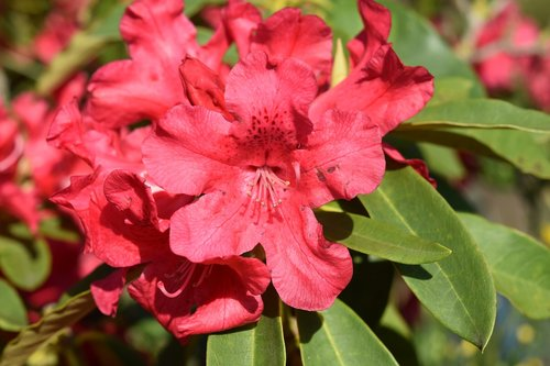 flower of rhododendron  rhododendron red  green leaves