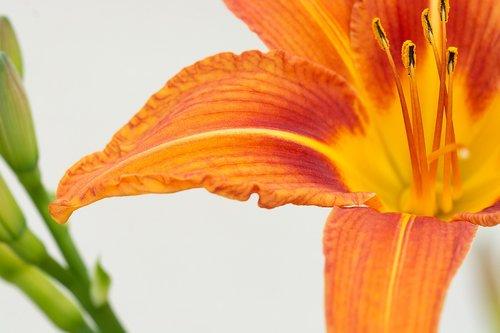 flower orange  orange flower  blossom