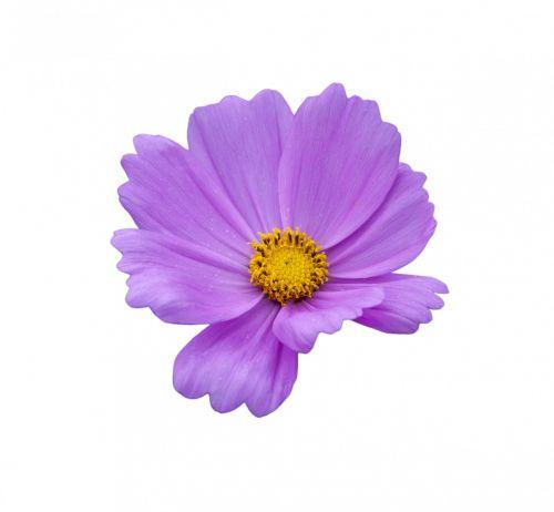 gėlė, violetinė, levanda, violetinė, gražus, Iš arti, detalės, gamta, žiedlapiai, subtilus, graži, izoliuotas, balta, fonas, gėlė violetinė balta
