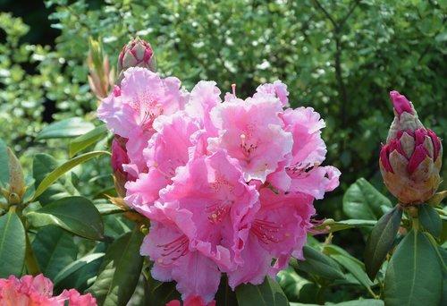 flower rhododendron  button flower rhododendron  nature