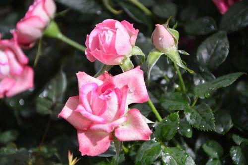 flower roses rosebuds flowers pungent
