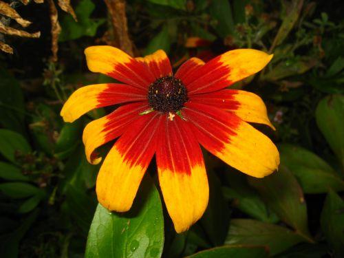 Flower Rudbeckia
