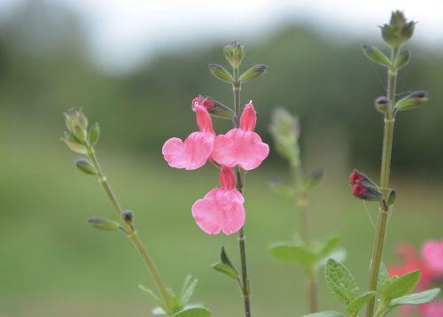 flower sage plant sage