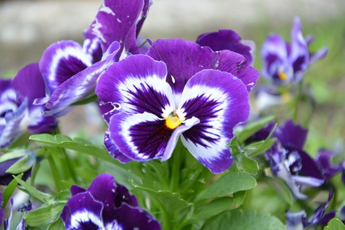 flower thought  thoughts color purple  garden