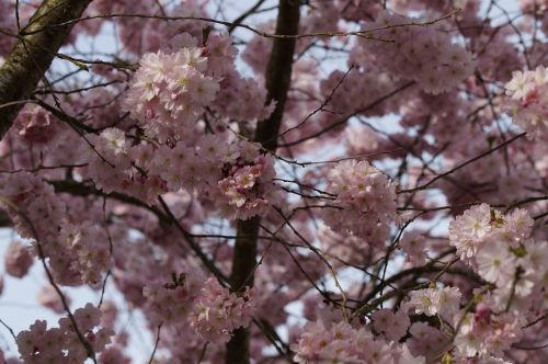 flower tree,cherry blossom,blossom,bloom,spring,blossom,close,pink,tender,ornamental cherry,flowers,cherry blossoms,tree,blütenmeer,bloom,blossom branches
