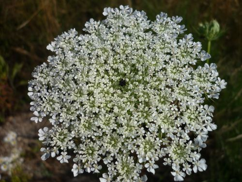 flower umbel nature many