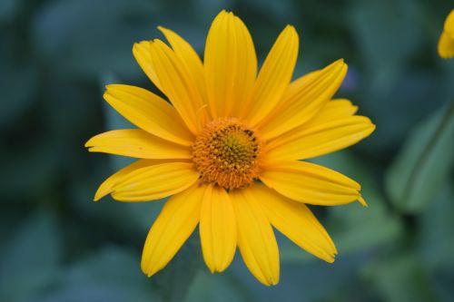 flower yellow daisy yellow yellow