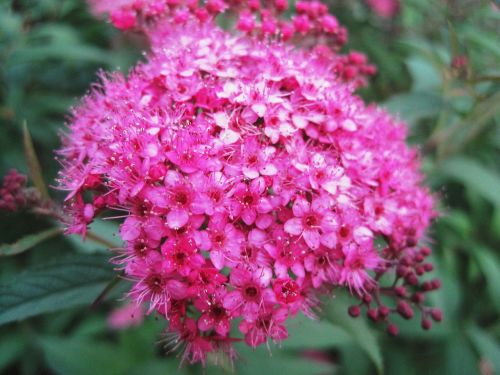 flowerhead florets pink