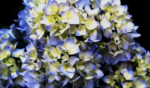 flowerhead florets hydrangea