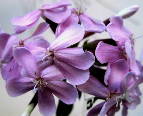 flowerhead florets daintey