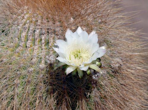 flowering cactus bolivia